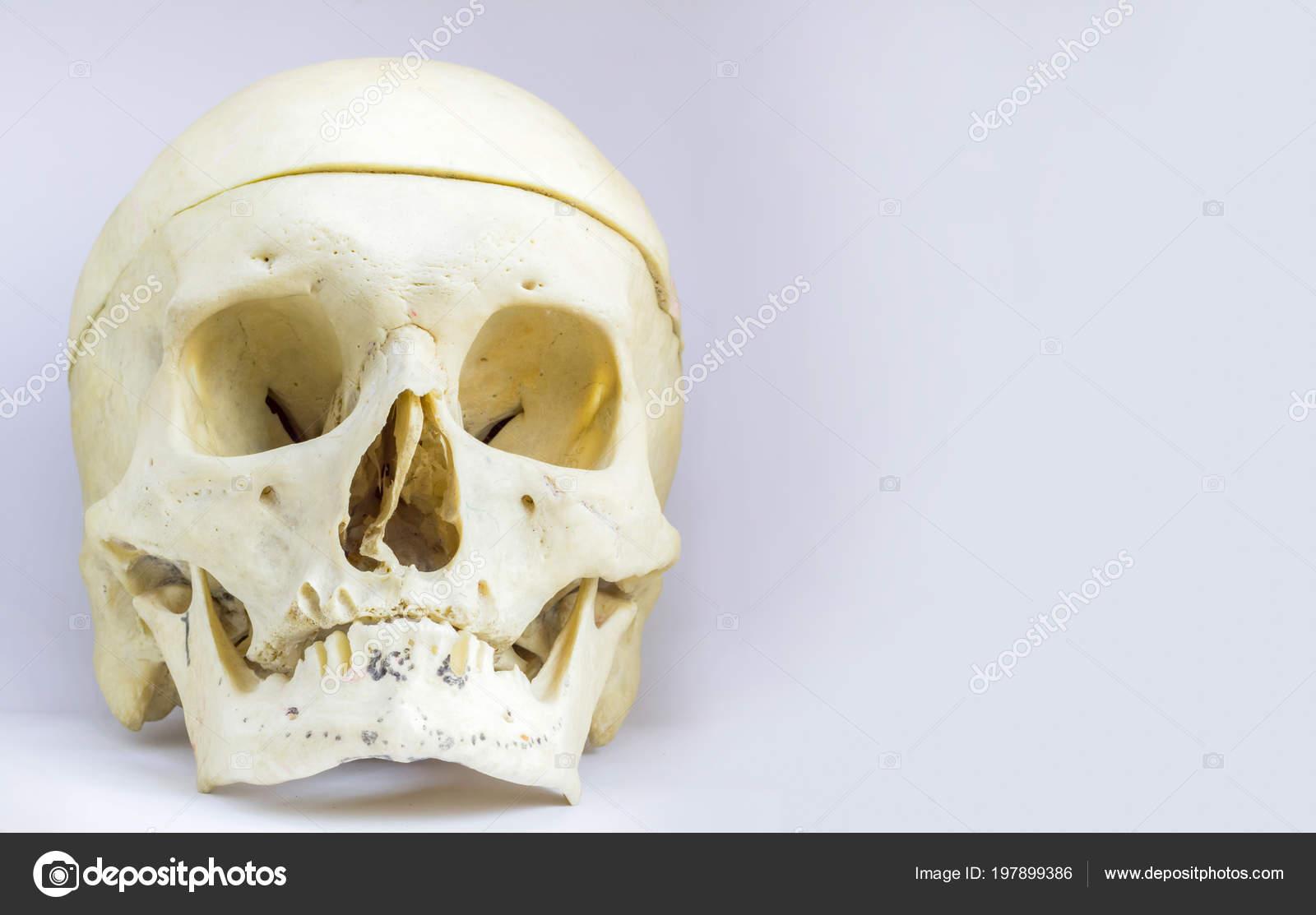 Front Anatomical View Human Skull Bone Mandible Vault Skull Isolated