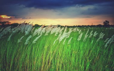 white kash plant or kans grass bloomed among green fields with red and blue clouds in sky