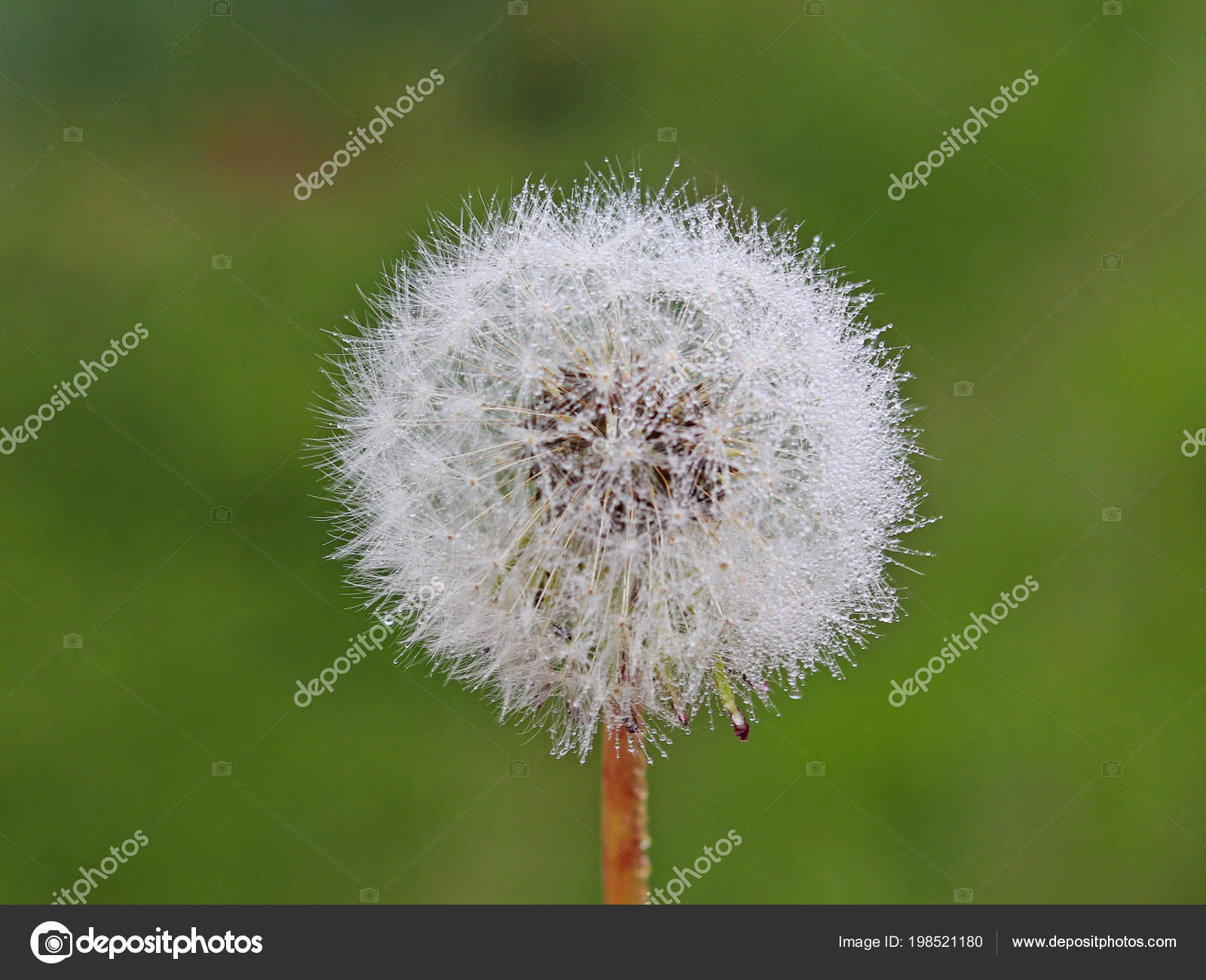 Macro photography white ball dandelion flower blurred green macro photography of a white ball of a dandelion flower on a blurred green background fauna of temperate climate green plants and the ecology of the mightylinksfo