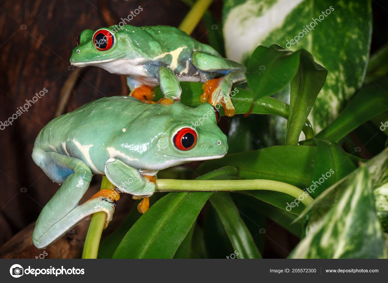 Two Red Eyed Tree Frogs Playing Betweens Plants Terrarium Stock