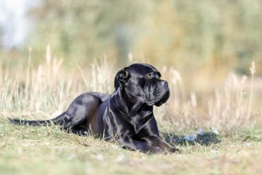 Black Dog Cane Corso lying in the field
