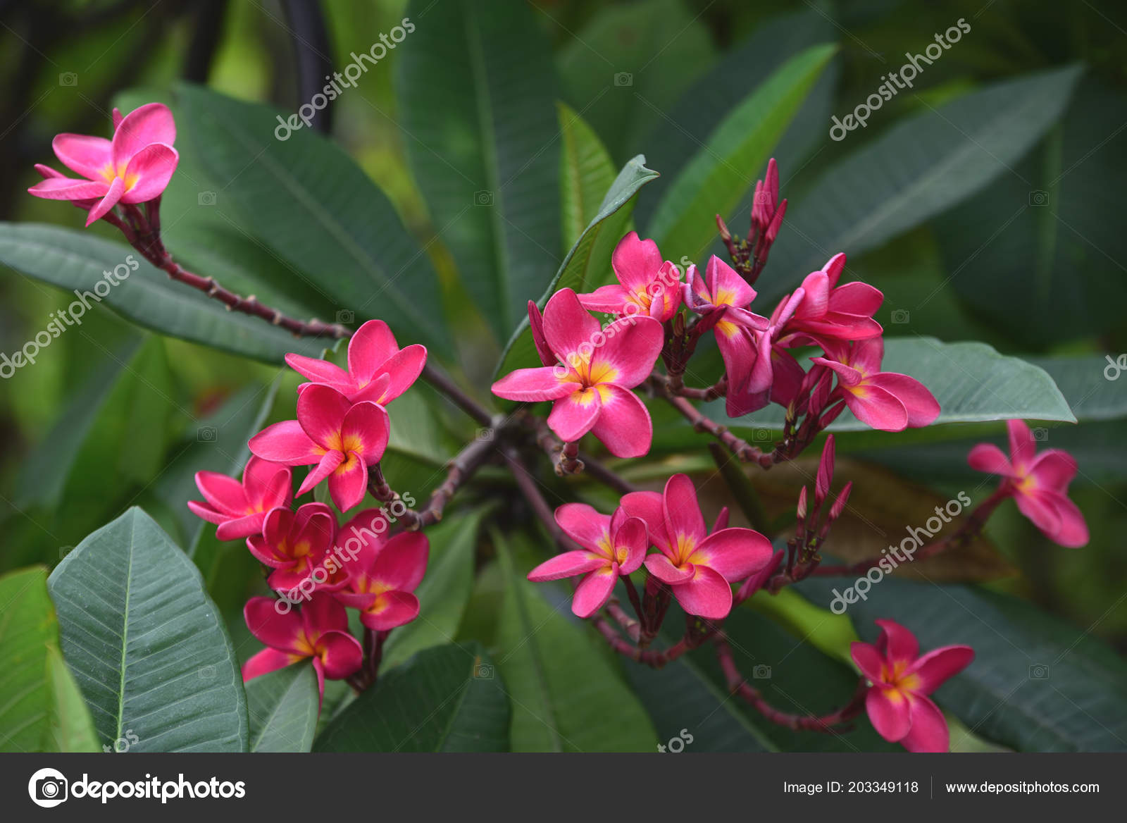 Colorful flowers garden plumeria flower blooming beautiful flowers colorful flowers garden plumeria flower blooming beautiful flowers garden blooming izmirmasajfo