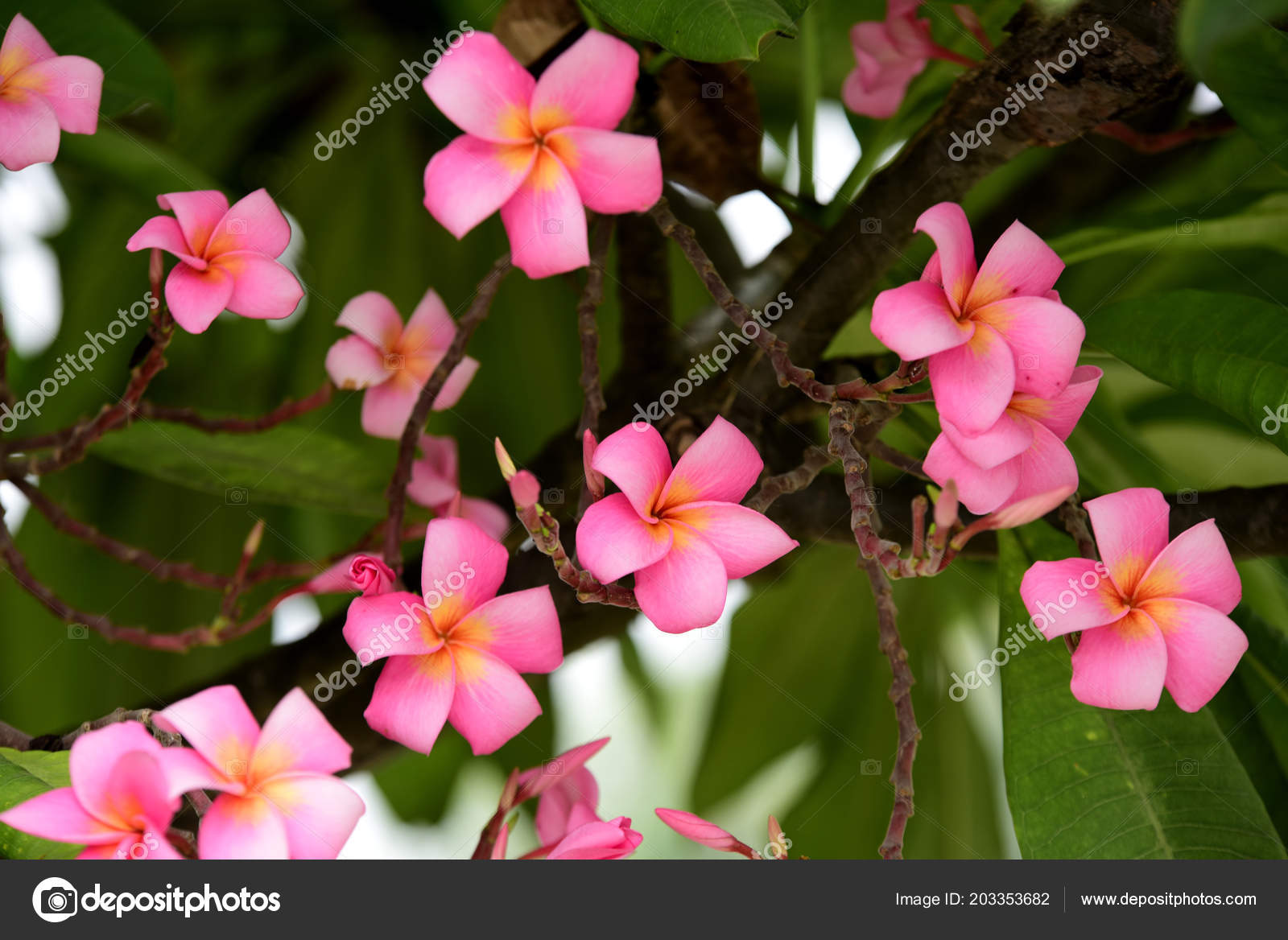 Colorful flowers garden plumeria flower blooming beautiful flowers colorful flowers garden plumeria flower blooming beautiful flowers garden blooming stock photo izmirmasajfo