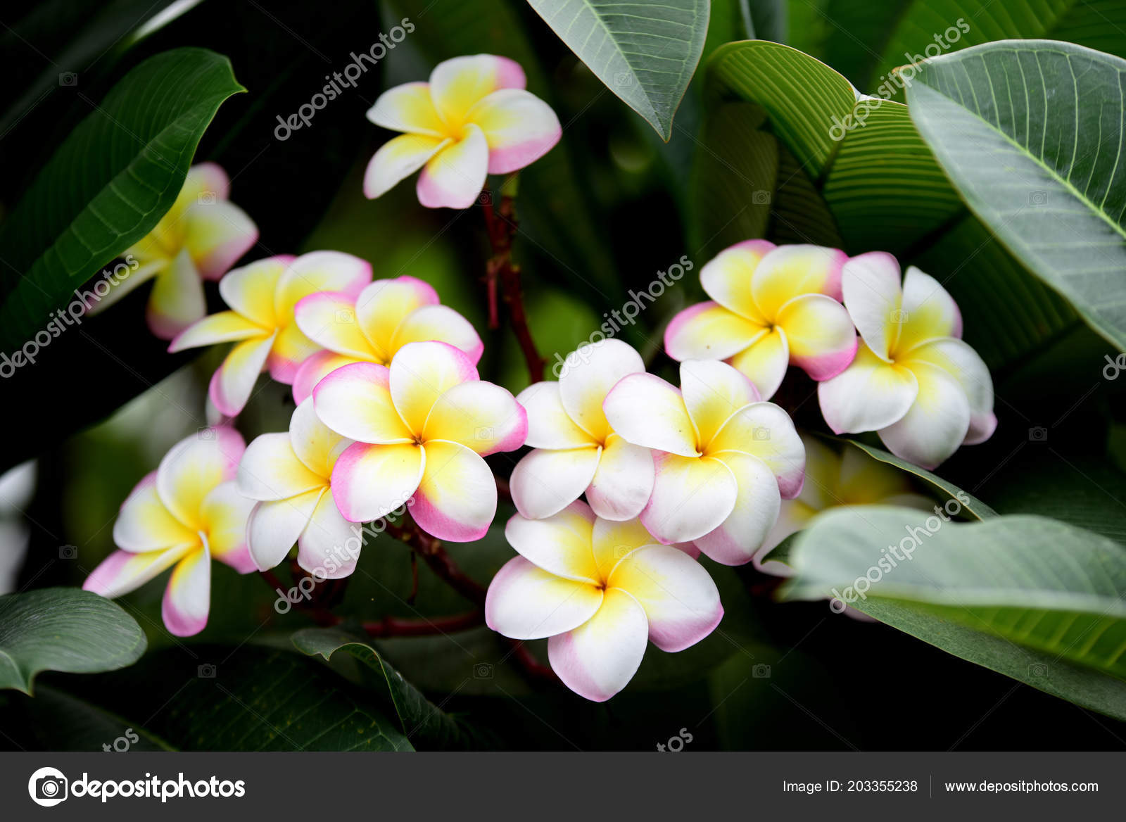 Colorful flowers garden plumeria flower blooming beautiful flowers colorful flowers garden plumeria flower blooming beautiful flowers garden blooming stock photo izmirmasajfo