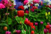 Téli virágok narancssárga tulipán, a vörös, a sárga és a színes növények, parkok Thaiföld