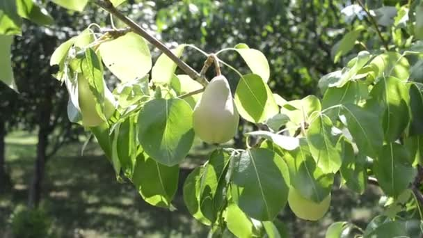 Pear fruit on the branch in organic orchard, homegrown produce