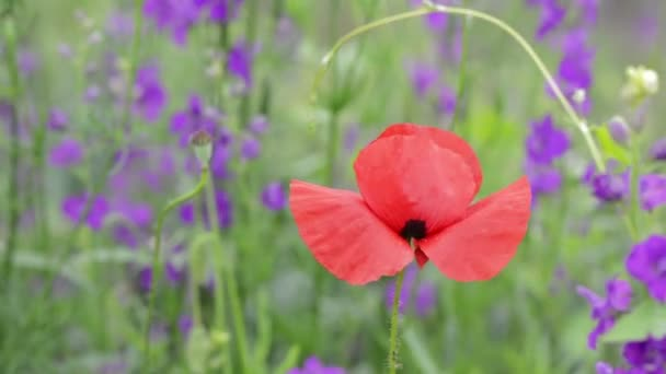 Close up of Poppy flower and angelonia flowers in background on beautiful springtime day, selectiv focus