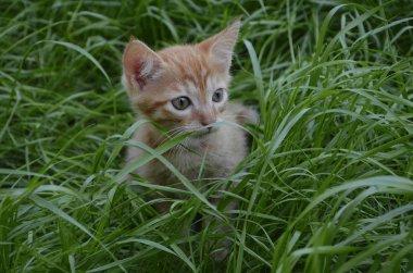 Orange fluffy kitten hiding in the green grass on a summer day. Looks round big big eyes forward