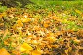 oranžové podzimní listí na zemi v podzimním lese nebo v parku