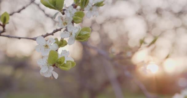 Švestkové květy na švestkové větvi