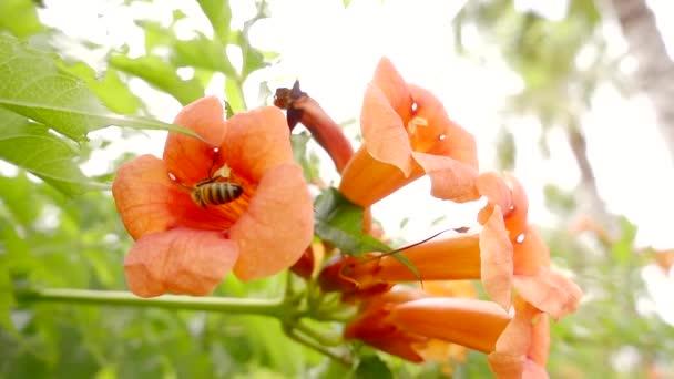 Honey bee sběr pylu z květ
