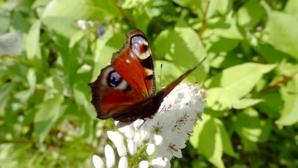 Zblízka. motýl paví oka sedí na bílé květy a zelenými listy sbírá nektar