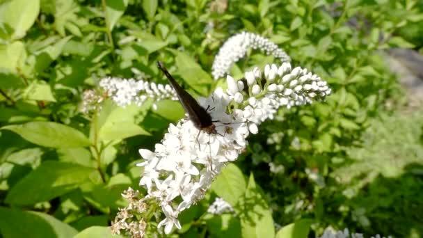 Černý motýl paví oko leží na bílé květy a zelené listí sbírá nektar