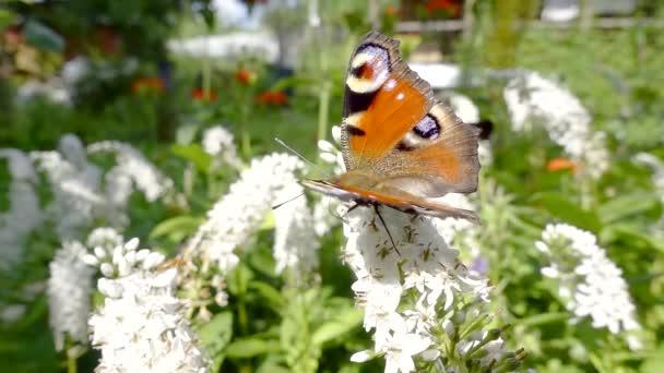 sedí na bílé kvetoucí květiny a létání na druhé na trávníku úžasné živé paví oko