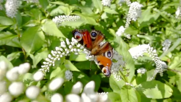 Krásný motýl spočívající na bílé kvetoucí keř ve slunečný letní den na zahradě a odletí