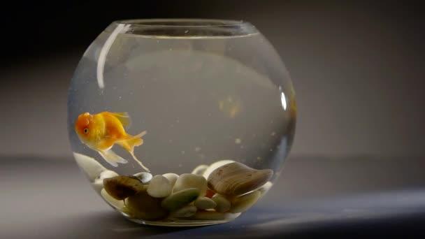 Felnőtt aranyhal közelről légzés, víz alatti szemcsésedik otthon kerek akvárium