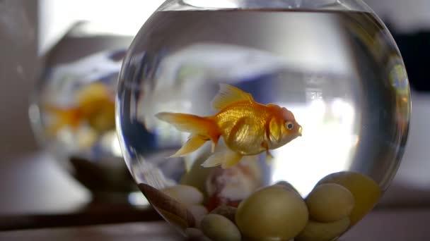 goldfish breathing