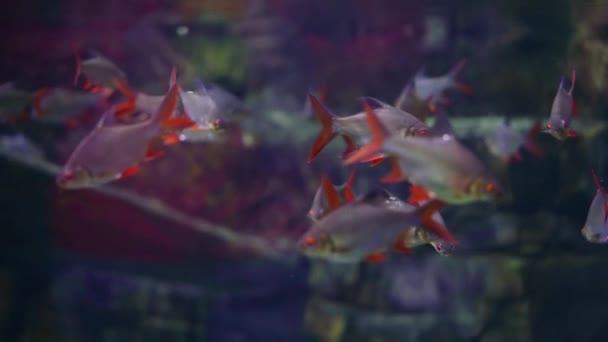 hejno ryb z čeledi kaprů s červenými ploutvemi