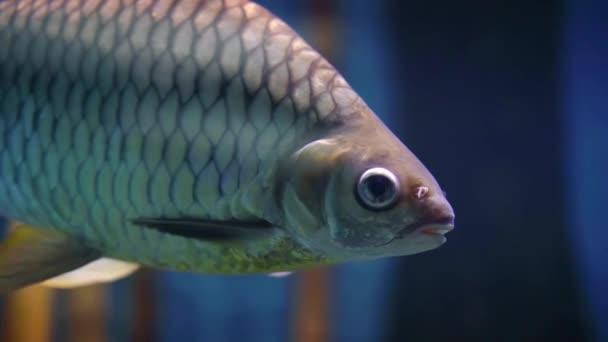 Detail ryb kapr, plavání pod vodou v habitatu