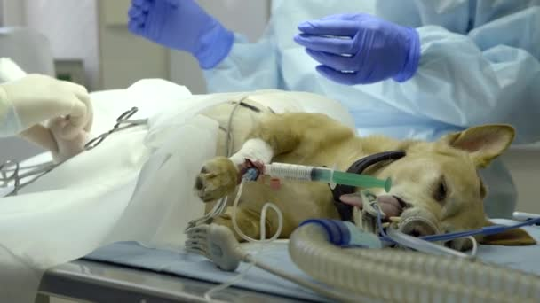 two veterinary surgeons are starting operating for small dog under anesthesia