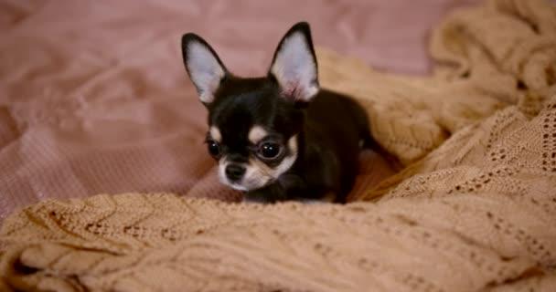 Detailní portrét miniaturního čivavského psa je na velké posteli u přikrývky.