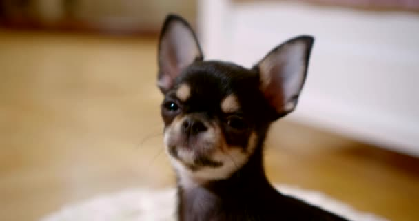 chihuahua puppy looks up and directly in camera slow motion