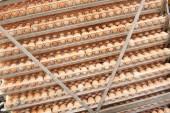 Fényképek Sok tojást tálca-ból tenyésztő kiválasztására minőségi, egészséges tojás folyamat tenyésztők inkubációs növény