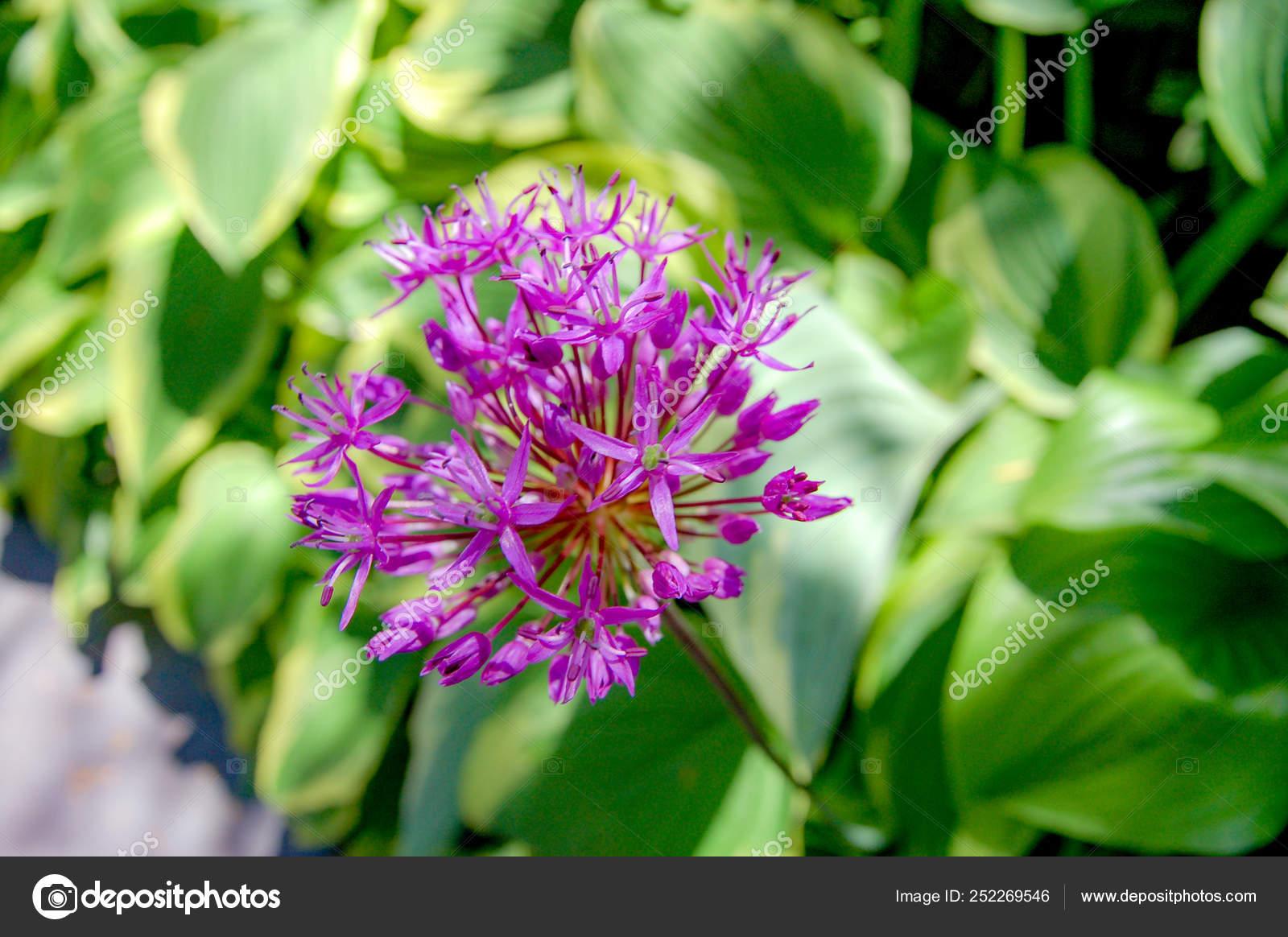 Fiori A Palla Nome.Nome Dell Allium Prattii Con Colore Bianco Rosa Piena Fioritura