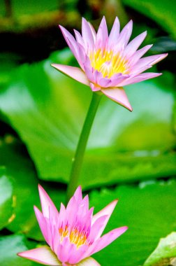 Water Lily or Asia Lotus Flower with pink and white yellow colour blooming over water.Keywords language: English