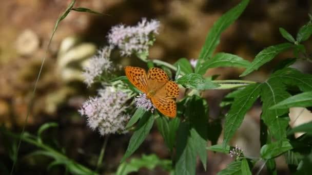Pillangó a virágok a Parco Dei Monti Simbruini