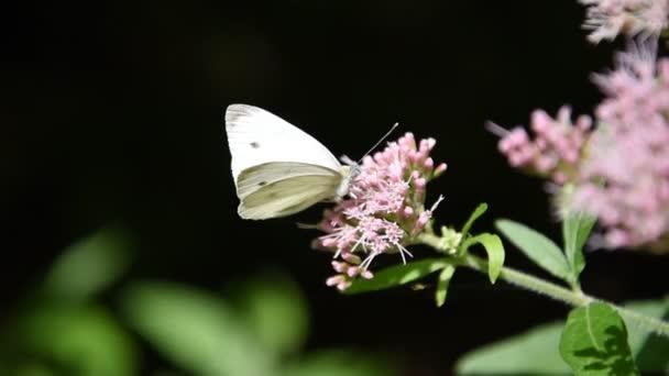 Motýl na květinách v Parco dei Monti Simbruini
