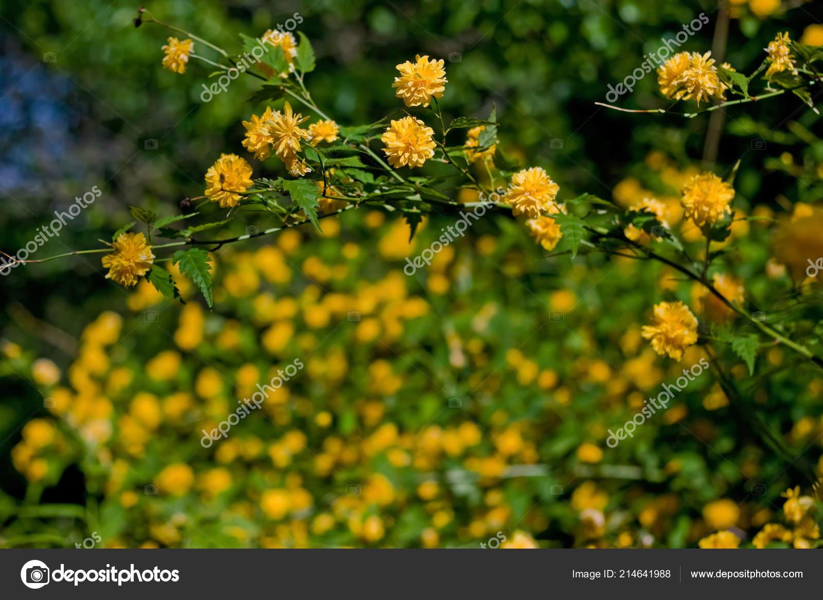 Bush With Orange Flowers In Spring Orange Spring Flowers Bush