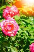 krásná růže v parku na přírodním pozadí