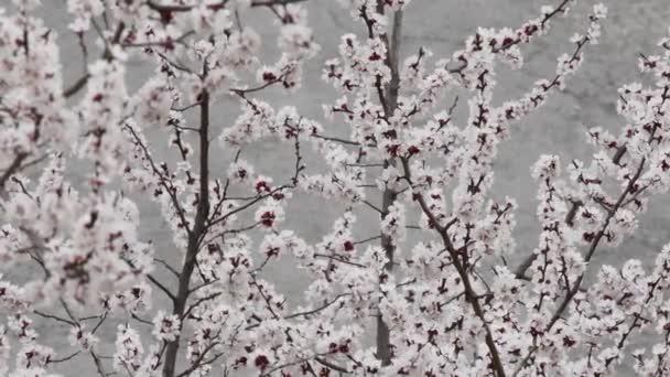 Krásné meruňky kvetou na jaře, březen. Meruňkové pobočky ve větru 4k