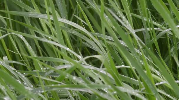 Fresh green blades of grass in the rain. 4K image