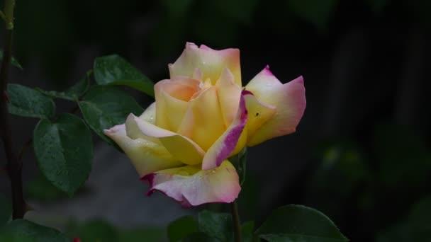 Rózsa-virág. 4k videó-Rózsa virág closeup. Rózsaszirom borítja gyönyörű esőcseppek. Art-videó