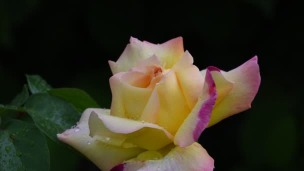 Rose flower. 4K video footage rose flower closeup. Rose petals are covered with beautiful raindrops.