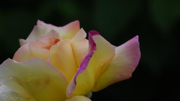 Rózsa-virág. 4k videofelvétel Rózsa virág closeup. Rózsaszirom borítja gyönyörű esőcseppek.