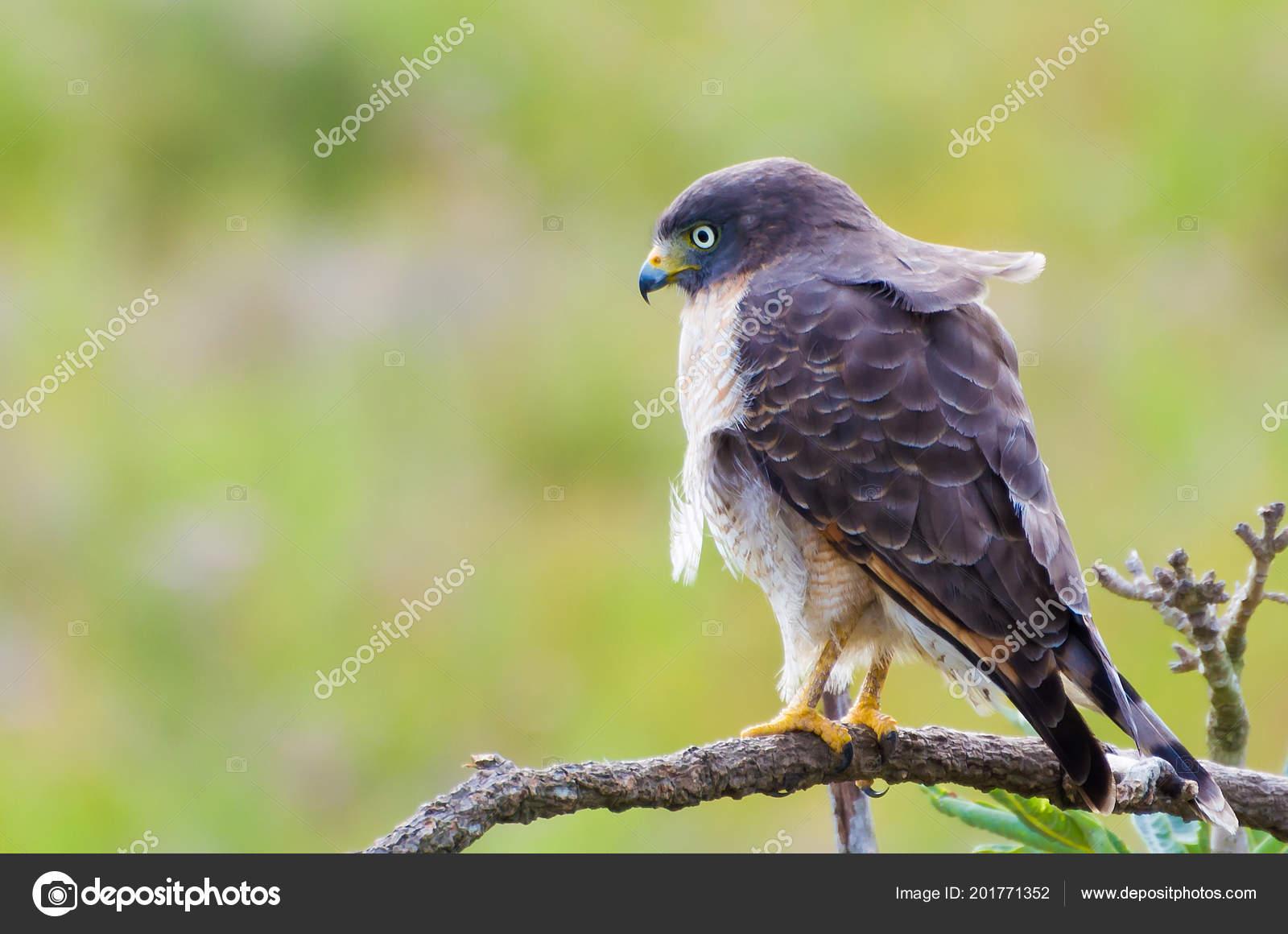 belo pássaro falcão falcão gavião estrada rupornis magnirostris uma