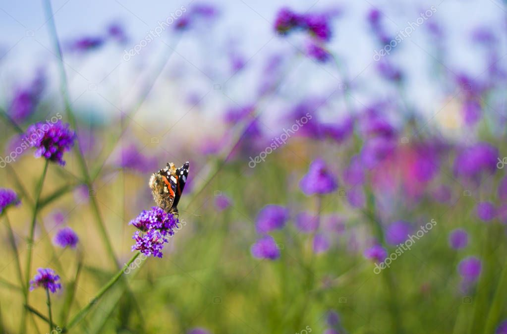 Purple lavender and green grass and butterfly in the Park.