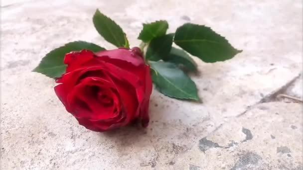 Červená růže na zemi. Má stonek a listově zelené listy. Jemný vítr fouká, jsou to záběry z listů. Nádhera. Malý mravenec pohybující se po zemi. Video klip. Koncept.