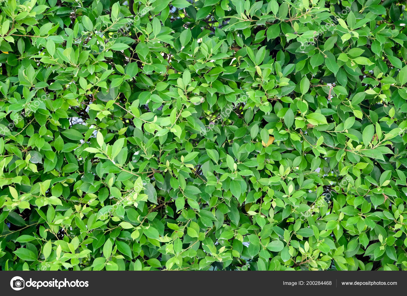 Green Ivy Bush Wall Garden \u2014 Stock Photo © nattapol 200284468