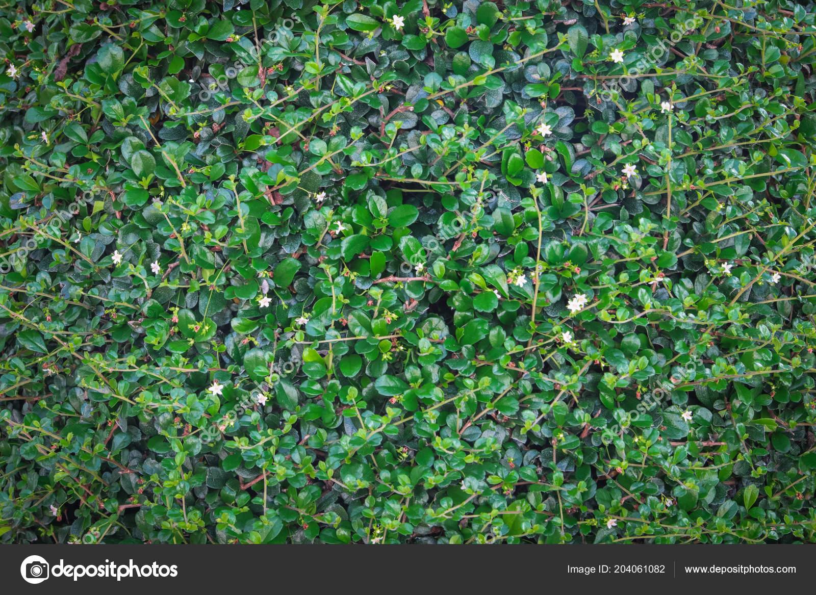 Green Ivy Bush Wall Garden \u2014 Stock Photo © nattapol 204061082