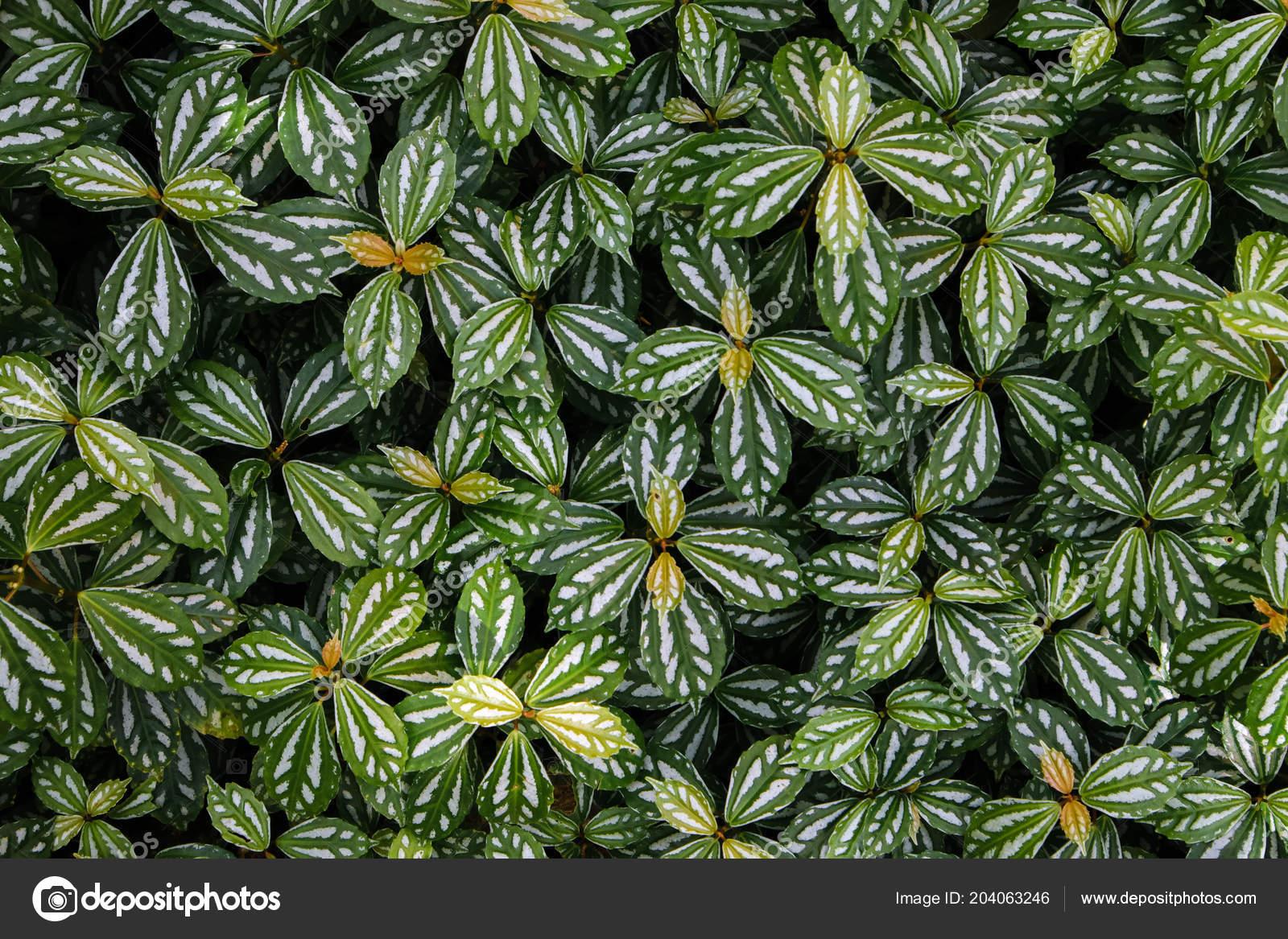 Green Ivy Bush Wall Garden \u2014 Stock Photo © nattapol 204063246