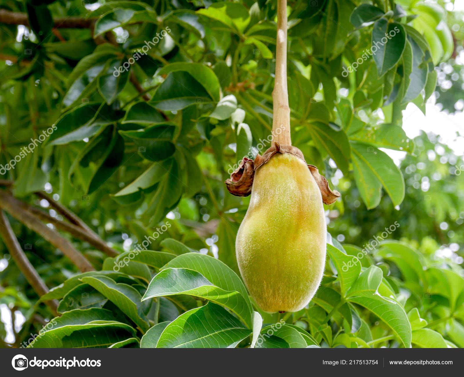 Afrikanische Baobab Frucht Oder Affe Brot Stockfoto C Nattapol