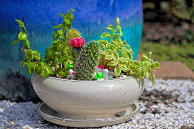 Cactus plants with assorment of succulent plants including one with bright pink flower bloom.  Closeup.