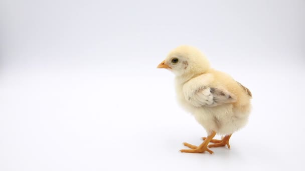 Video Adorable Baby Chick Standing Alone Studio Isolated White Background —  Stock Video