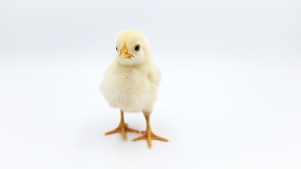 Video z roztomilá kuřátka, stála sama ve studiu. Izolované na bílém pozadí.
