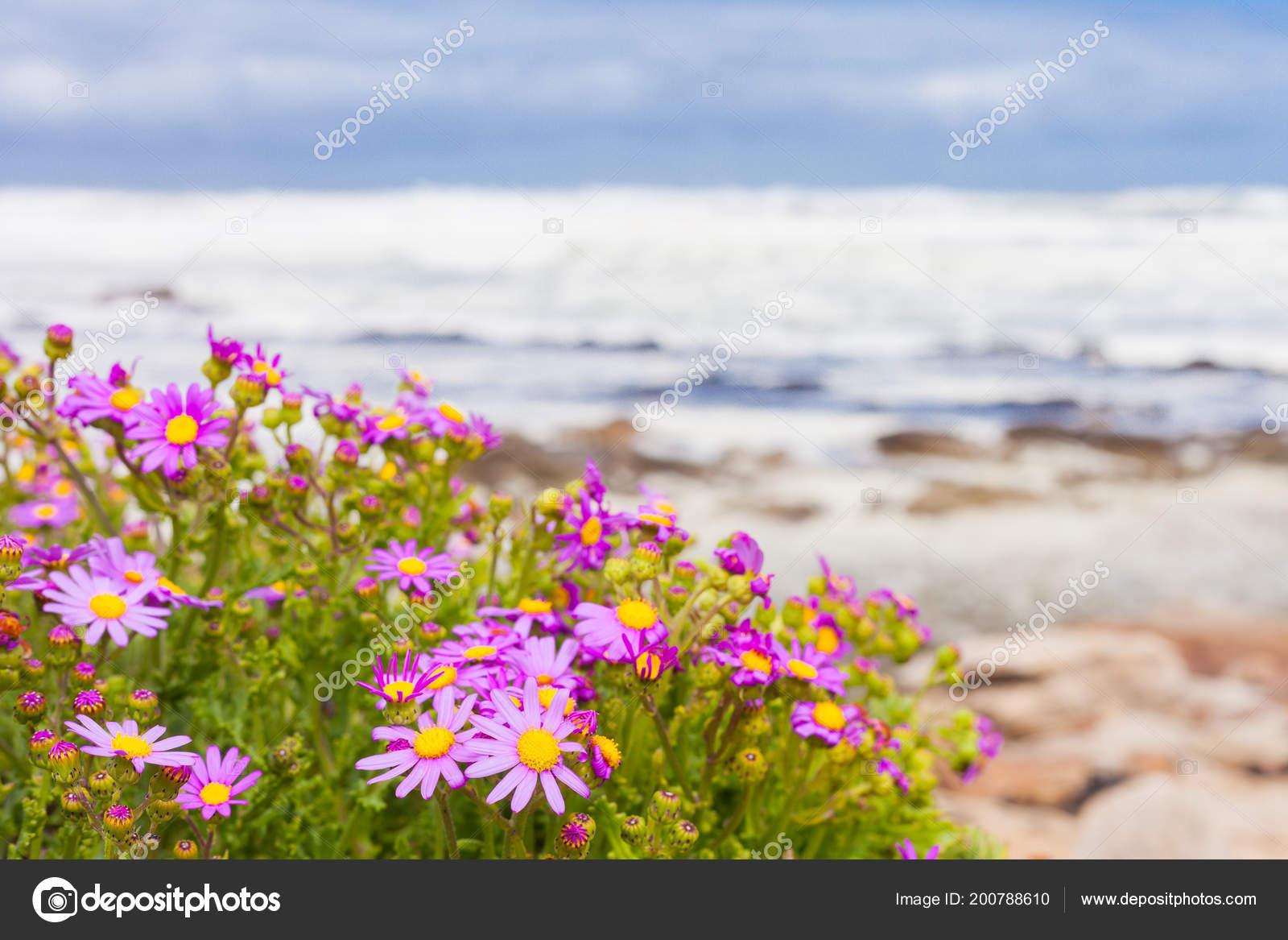 Small Pink Coastal Flowers Atlantic Sea Shore Cape Town South