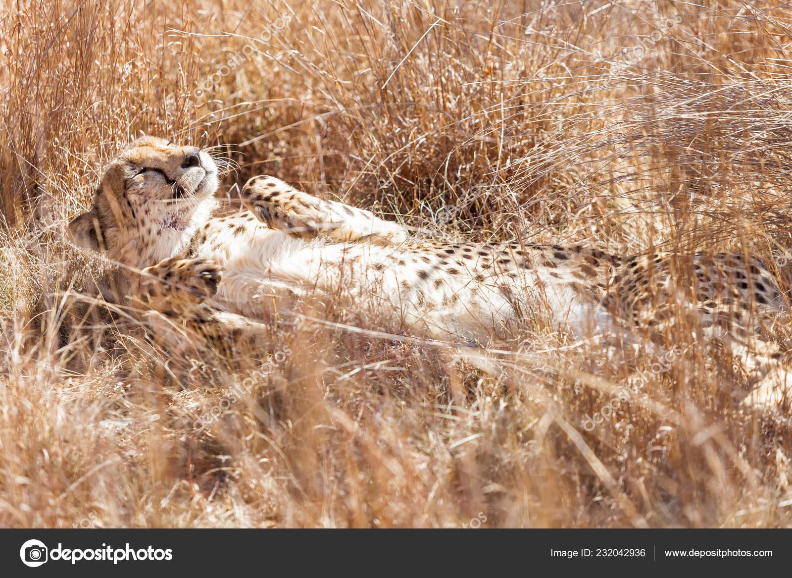 African Cheetah Sitting Long Grass Safari South African Game